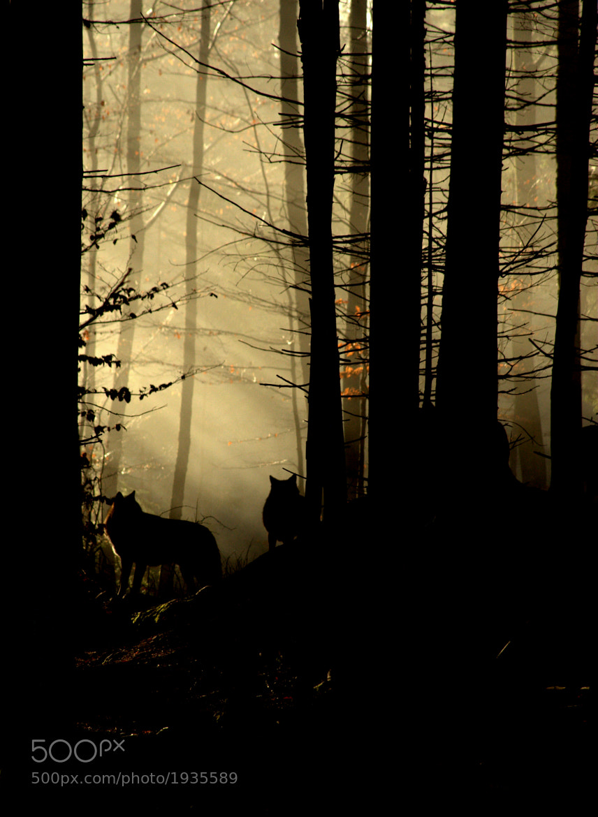 Photograph Wolves in the Mist by David Batchelor on 500px