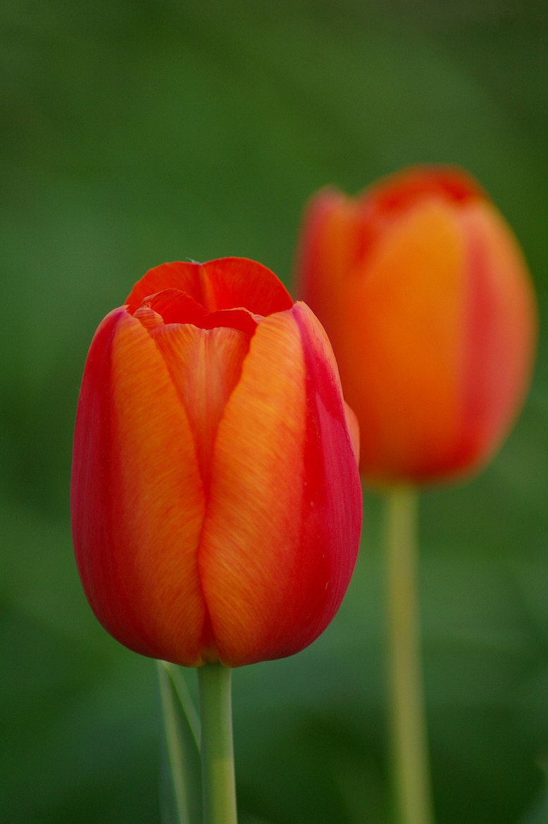 Photograph Orange Tulips by Kayleigh Wilson on 500px