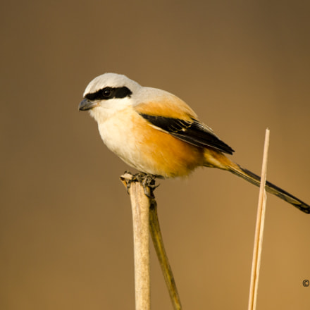 Long tailed Shrike, Nikon D5100, AF-S VR Nikkor 600mm f/4G ED