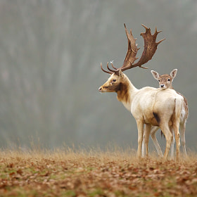 fallow love by Mark Bridger (bridgephotography)) on 500px.com