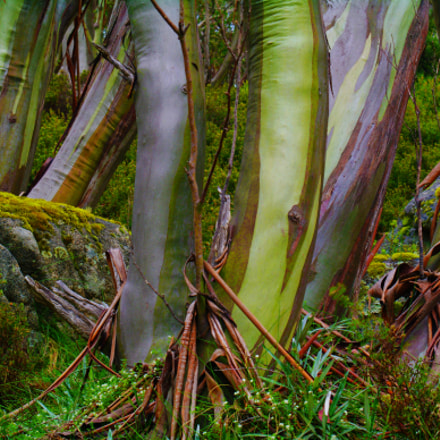 Snow Gums in Summer, Pentax K-7