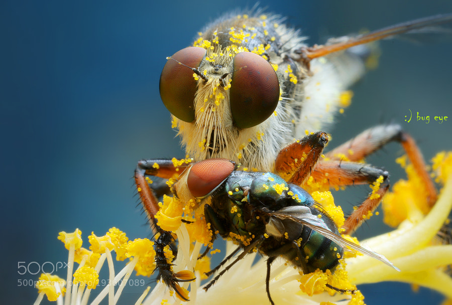 The Robberfly