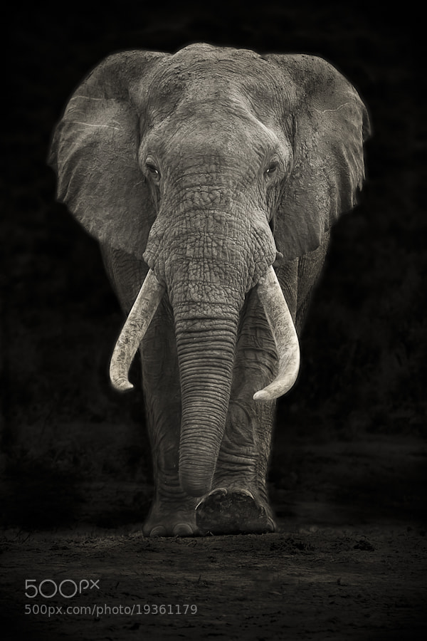 Photograph Addo Tusker by Mario Moreno on 500px