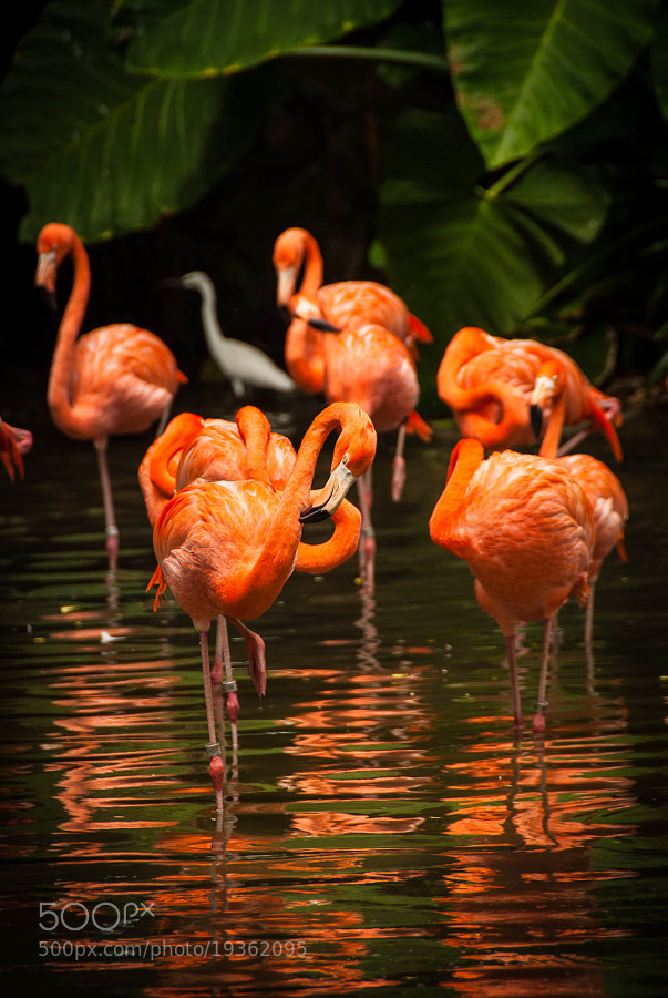 Photograph The Flamingos by Jupert Sison on 500px