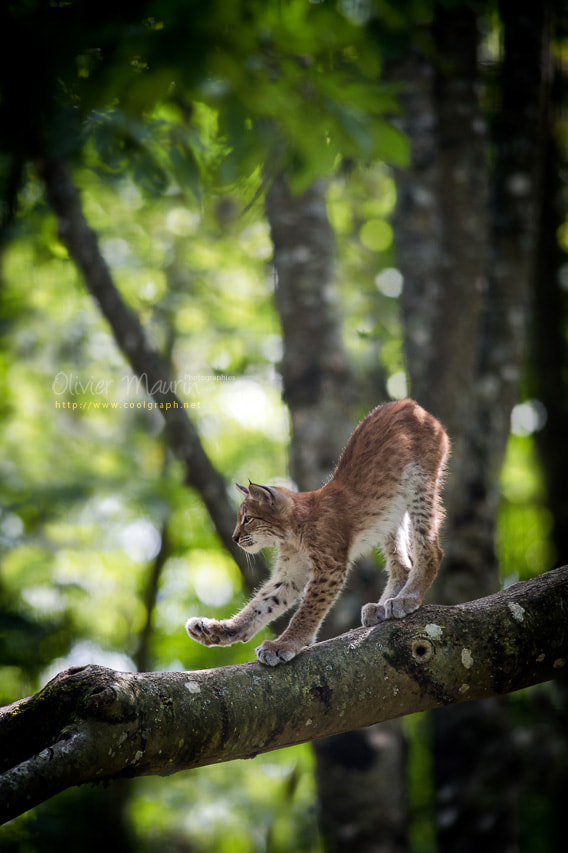 Photograph European Lynx  by Olivier Maurin on 500px