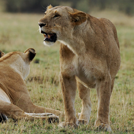 lions in masai mara 2016, Sony SLT-A77V, Tamron SP 150-600mm F5-6.3 Di USD