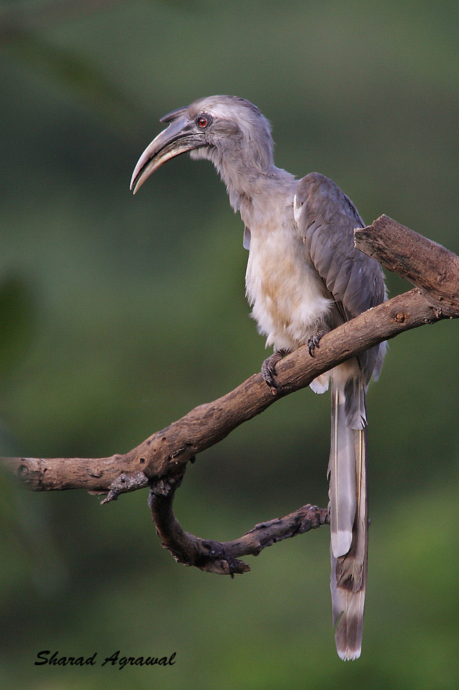 Photograph Indian Grey Hornbill  by Sharad Agrawal on 500px