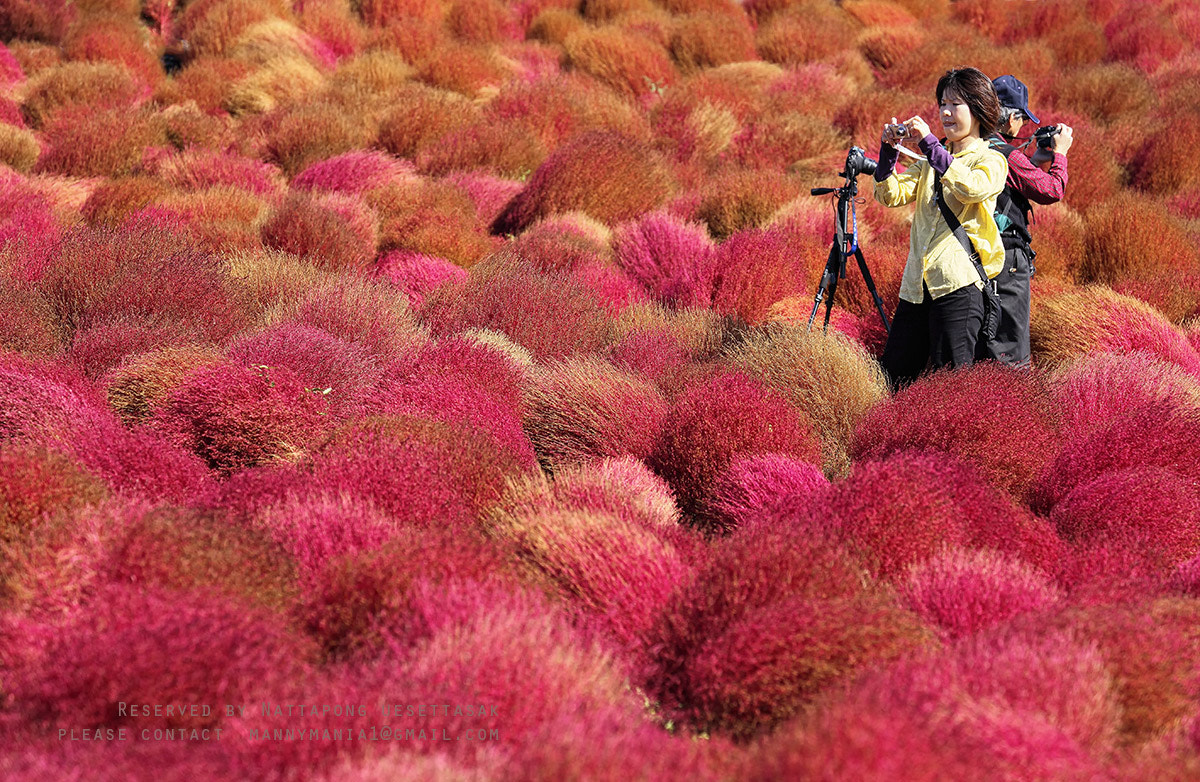 Photograph RED KOKIA by Nattapong uesettasak on 500px