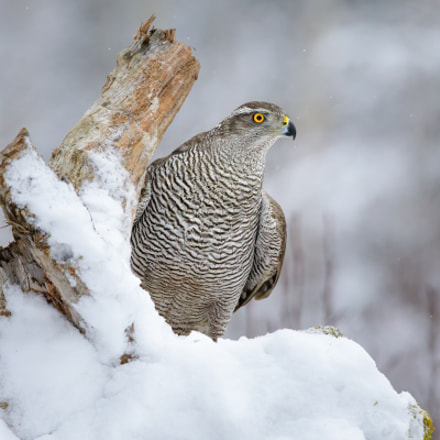 goshawk, Canon EOS 5D MARK IV, Canon EF 400mm f/2.8L IS II USM