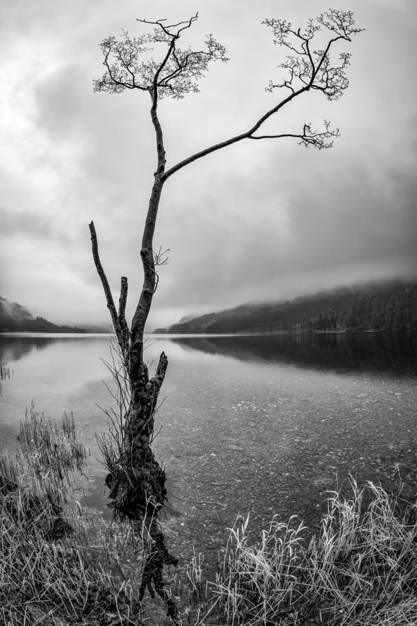 Buttermere Tree 3