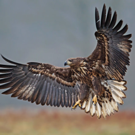 eagle+, Canon EOS-1D MARK IV, Canon EF 400mm f/2.8L IS II USM