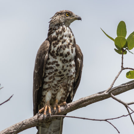 Buse variable, Canon EOS 7D MARK II, Canon EF 300mm f/4L IS