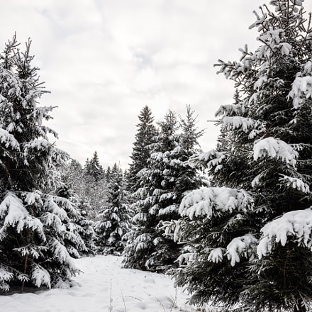Snow covered spruce trees, Canon EOS 5D MARK III, Sigma 24mm f/1.4 DG HSM | A