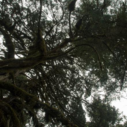 Coniferous Huanglong