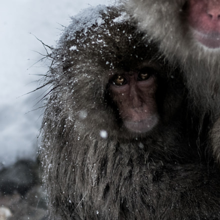 Snow Monkey, Sony ILCE-7R, 70-200mm F2.8