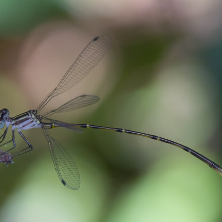 Damselfly (Heteragrion sp.), Canon EOS 60D, Canon EF 70-300mm f/4-5.6 IS USM
