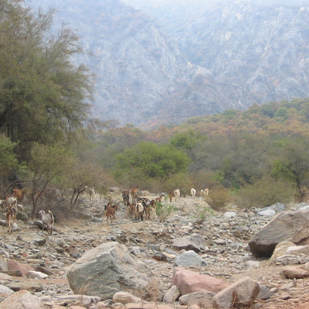 Goats in the Dry, Canon POWERSHOT A85