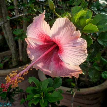 Hibiscus in all its, Nikon COOLPIX S6900