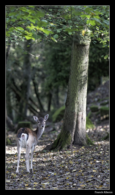 Photograph Biche by Franck Alleron on 500px