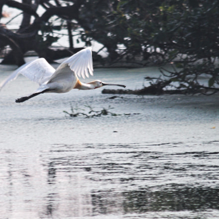 Spoonbill close to surface, Canon EOS 70D, Sigma 150-500mm f/5-6.3 APO DG OS HSM
