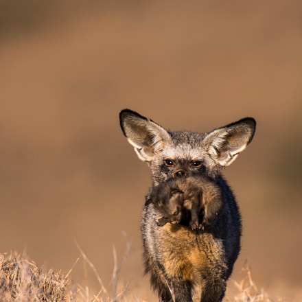 Bat-eared fox taking cub, Nikon D800E, AF-S Nikkor 500mm f/4D IF-ED II