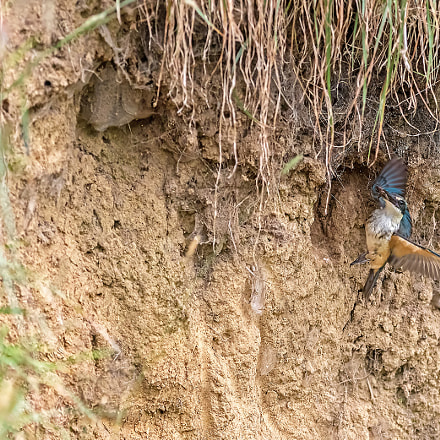 Sacred Kingfisher 47, Canon EOS 7D MARK II, Canon EF 300mm f/2.8L IS
