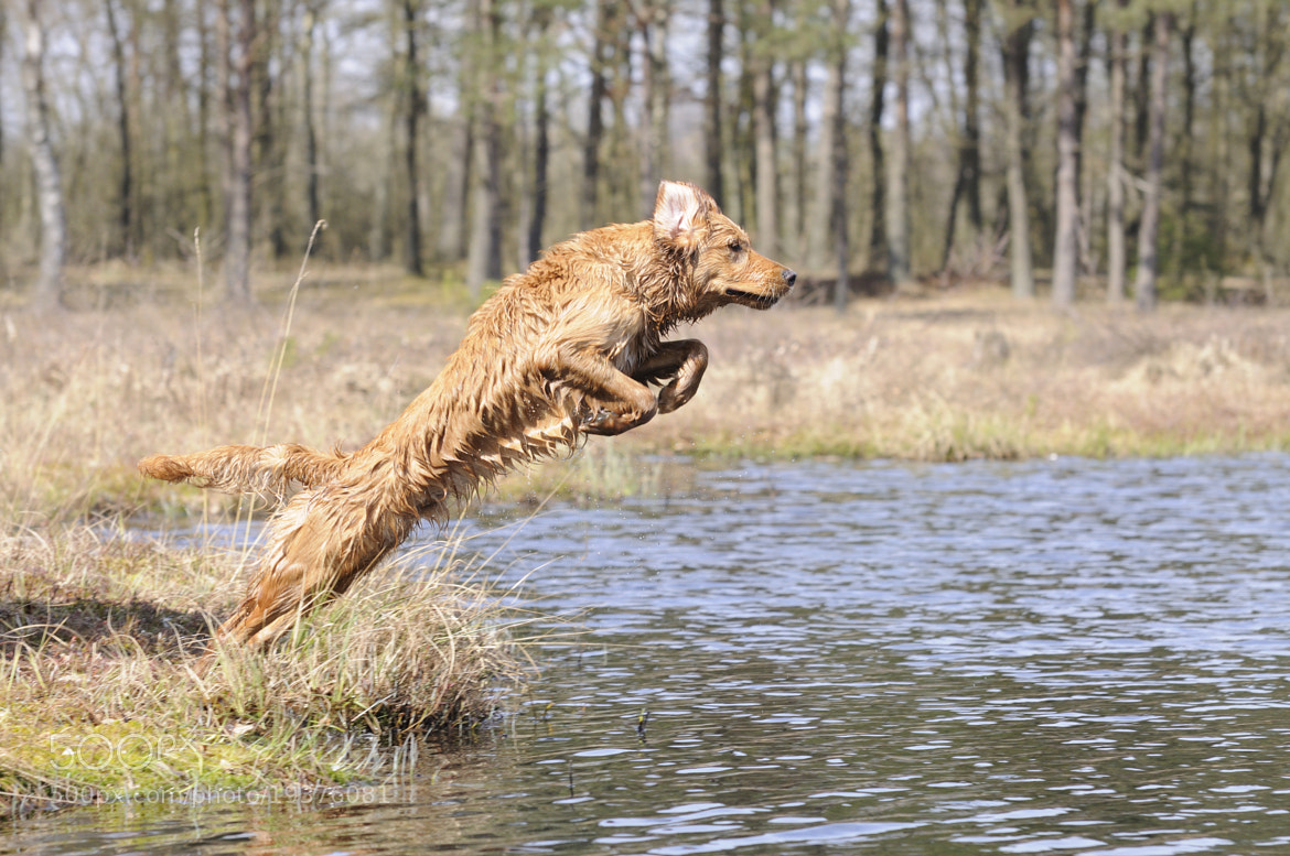 Photograph Golden Retriever Power jump by Kasper Dam Lisby  on 500px