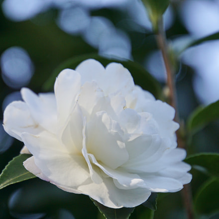 ☆*:. Pure  White.:*☆, Sony ILCE-6000, Sony E 18-200mm F3.5-6.3