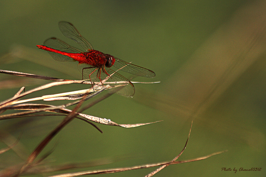 Photograph Red Dragonfly by Pakpoom Nakata on 500px