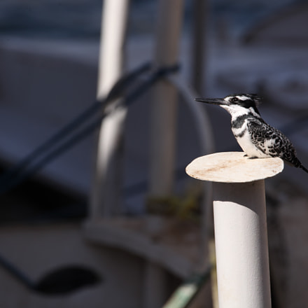 Pied Kingfisher, Canon EOS 5D MARK II, Sigma 150-600mm f/5-6.3 DG OS HSM | C