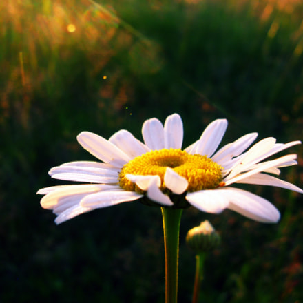 Camomile, Canon POWERSHOT A720 IS