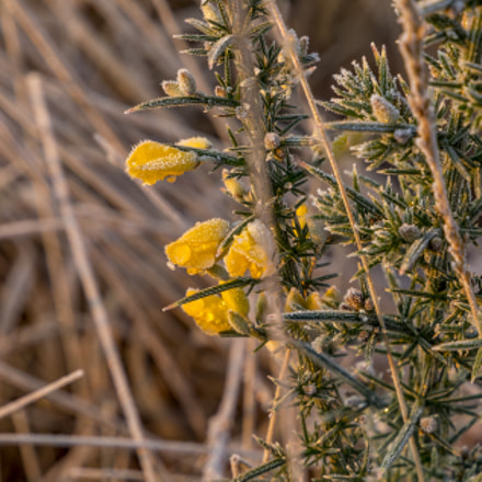 Frosty Gorse, Canon EOS 5D MARK IV, Canon EF 24-105mm f/3.5-5.6 IS STM