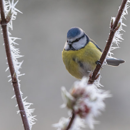 blue tit, Canon EOS 7D MARK II, Canon EF 300mm f/2.8L IS