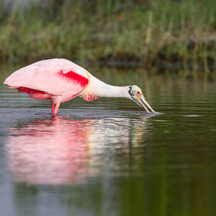 Roseate Spoonbill, Canon EOS-1D MARK IV, Canon EF 600mm f/4L IS