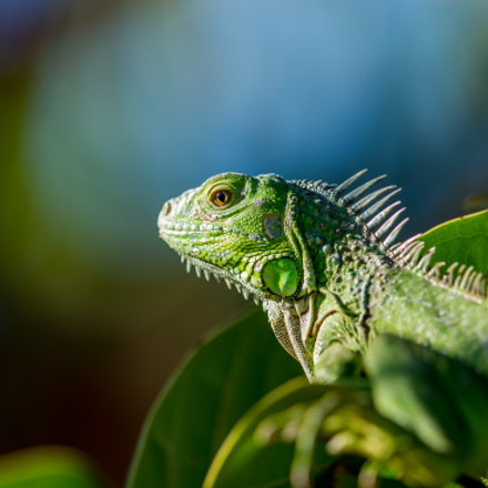 Iguana, Canon EOS 5D MARK III, Canon EF 400mm f/2.8L IS II USM