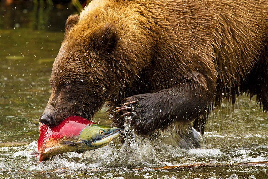 This image is of a Costal Alaskan Grizzly Bear plucks a random Sockeye Salmon from the river during the fall spawning season...just another victim in the bears plight to fatten up for a long, cold winter.