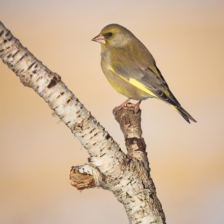 Greenfinch, Canon EOS 50D, Sigma 100-300mm f/4