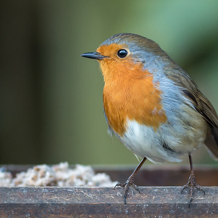 Robin at Bird Table, Canon EOS 70D, EF400mm f/5.6L USM