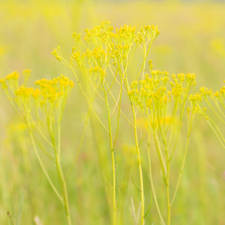 Yellow blossoms, Canon EOS 5D MARK III, Sigma 150-600mm f/5-6.3 DG OS HSM | C