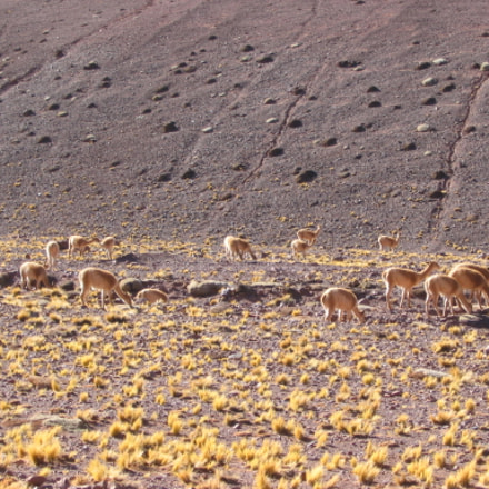 Vicugnas in the Andes, Canon POWERSHOT A85