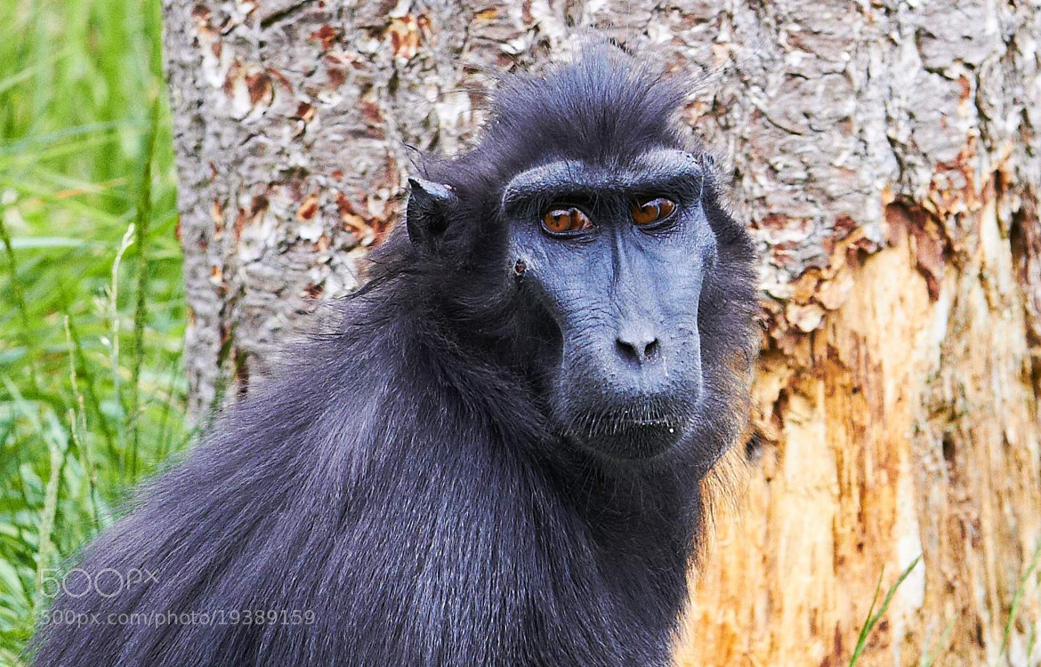 Photograph Sulawesi Crested Macaque by Paul Henton on 500px