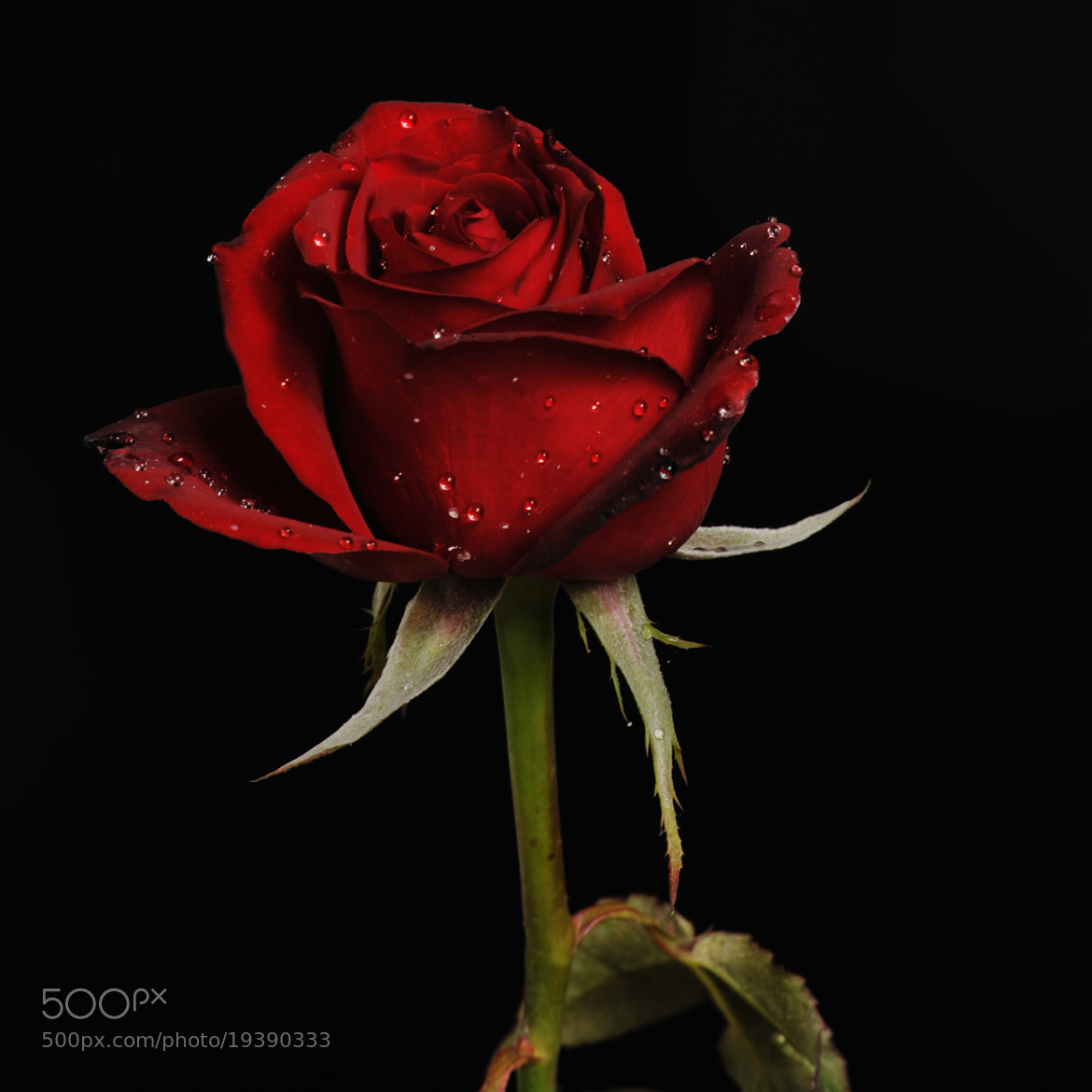Photograph Rose in dark red tone by Cristobal Garciaferro Rubio on 500px