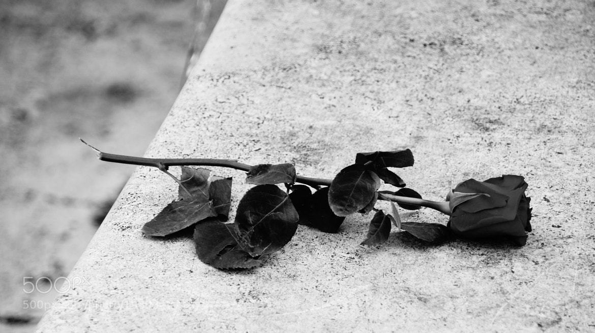 Photograph Forgotten Rose  by David Lin on 500px