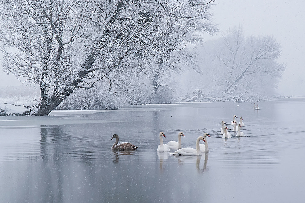 Photograph Swans' Lake by Peter Talos on 500px