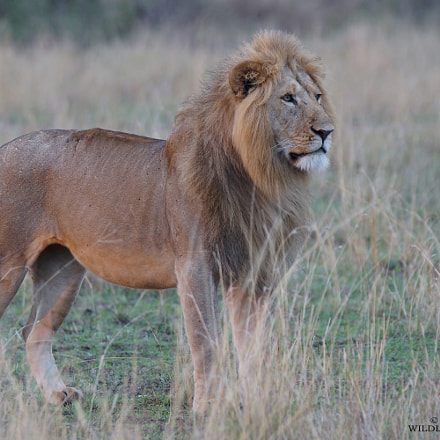 lion masai mara 2016, Sony SLT-A77V, Tamron SP 150-600mm F5-6.3 Di USD