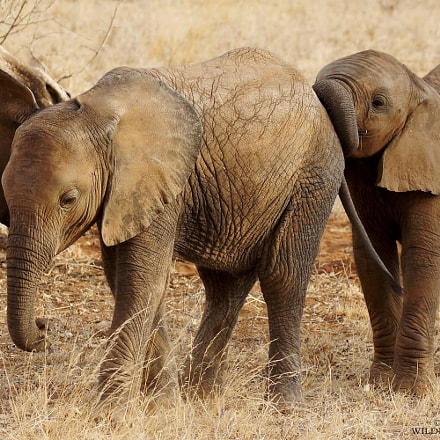 young elephants in samburu 2016, Sony SLT-A77V, Tamron SP 150-600mm F5-6.3 Di USD