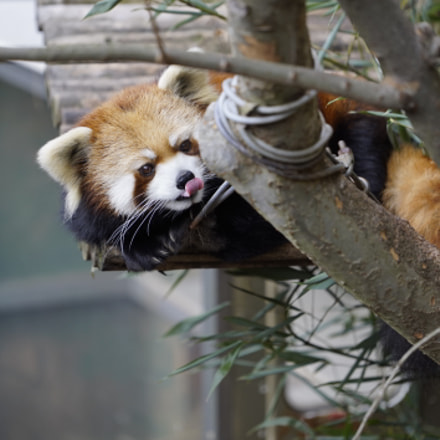 Red panda at Zoo, Sony ILCE-7S, Sony FE 70-200mm F4 G OSS