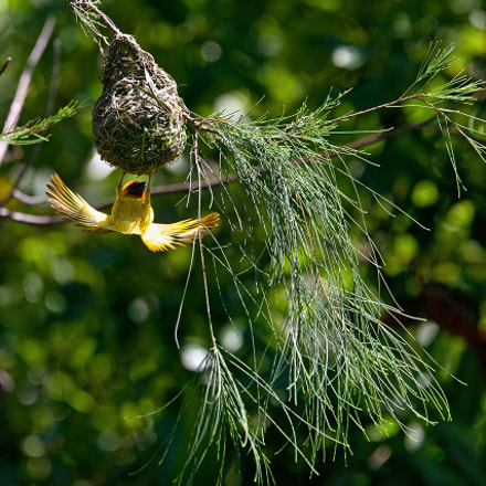 Golden Palm Weaver, Canon EOS-1DS MARK III, Canon EF 400mm f/4 DO IS