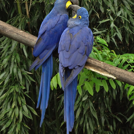 Two hyacinthe macaws exchange, Sony DSC-WX10