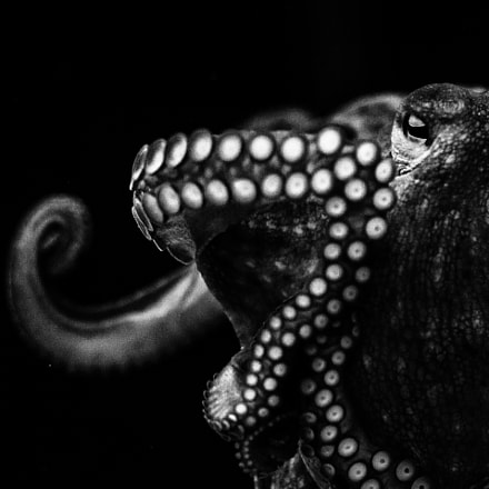 the octopus, Sony ILCE-6000, Sigma AF 105mm F2.8 EX [DG] Macro